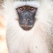 A vervet monkey looks straight at the camera at Tarangire National Park in northern Tanzania not far from Ngorongoro Crater and the Serengeti.