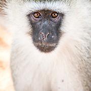 A vervet monkey looks straight at the camera at Tarangire National Park in northern Tanzania not far from Ngorongoro Crater and the Serengeti.