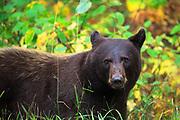 Black Bear, Glacier National Park