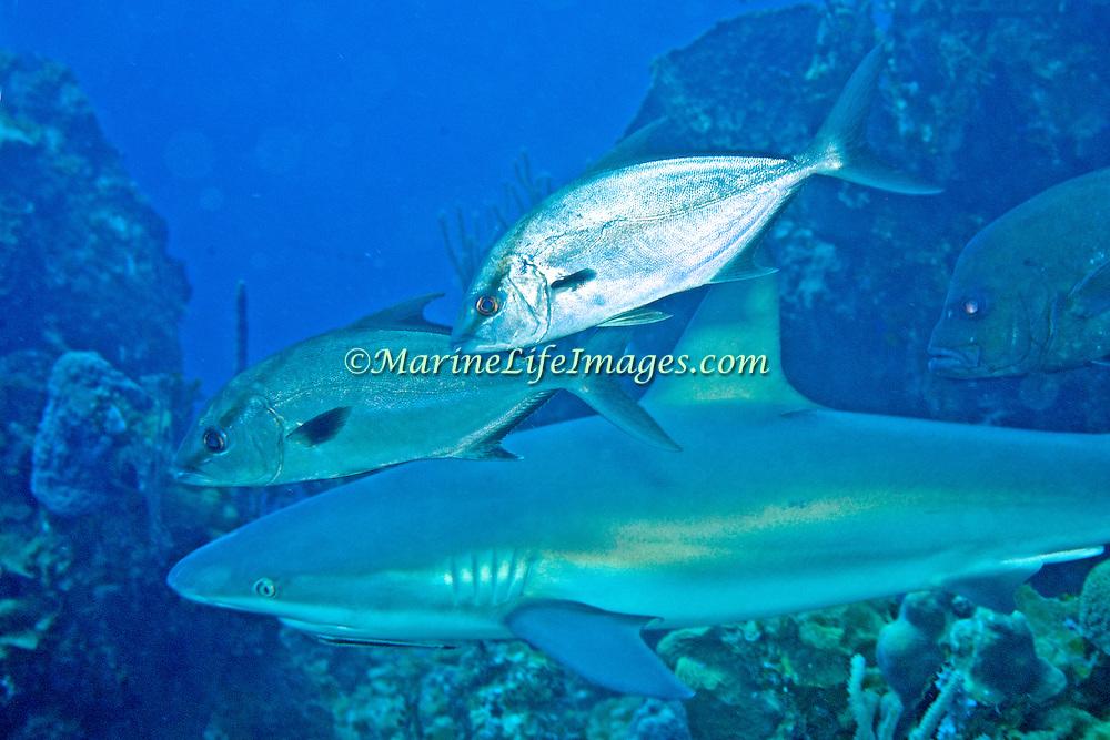 Almaco Jack inhabit open water in Tropical West Atlantic, also circumtropical; picture taken San Salvador, Bahamas.