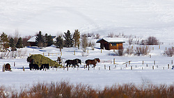 Four up team of Draft horses feeding cows in Winter