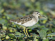 Wood Sandpiper Tringa glareola L 19-21cm. Elegantly proportioned wader. Legs are yellowish and relatively longer than those of similar-sized cousins. Has pale supercilium and, in flight, note white rump and barred tail. Sexes are similar. Adult has brownish, spangled upperparts. Head and neck are streaked and has faint streaks and spots on otherwise pale underparts. Juvenile is similar but upperparts are browner and marked with pale buff spots. Voice Utters a chiff-chiff-chiff flight call. Status Widespread and fairly common passage migrant, found mainly on freshwater pools near the coast; more rarely inland. Handful of pairs breed in bogs in Scottish Highlands.