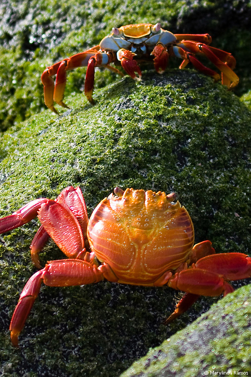 Two Sally Lightfoot crabs in a stand-off.  A carpet of bright green algae glistens in the wake of a receding tide as these colorful sea creatures determine who will dominate this rocky outpost.