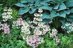 Primula japonica growing in front of Hosta 'Snowden' in a damp area of the garden at Beth Chatto's