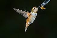 Immature male Rufous Hummingbird (Selasphorus rufus) shares a feeder with a honeybee (Apis mellifera). Tucson