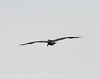 Brown Pelican (Pelecanus occidentalis). St. Petersburg, Florida. Image taken with a Nikon D300 camera and 200 mm f/2.0 VR lens and 1.7x TC-EII teleconverter