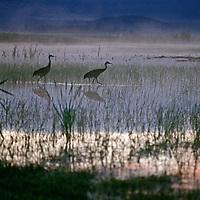 Sandhill Cranes (Grus canadensis) wade in a marsh near Fall River, California.