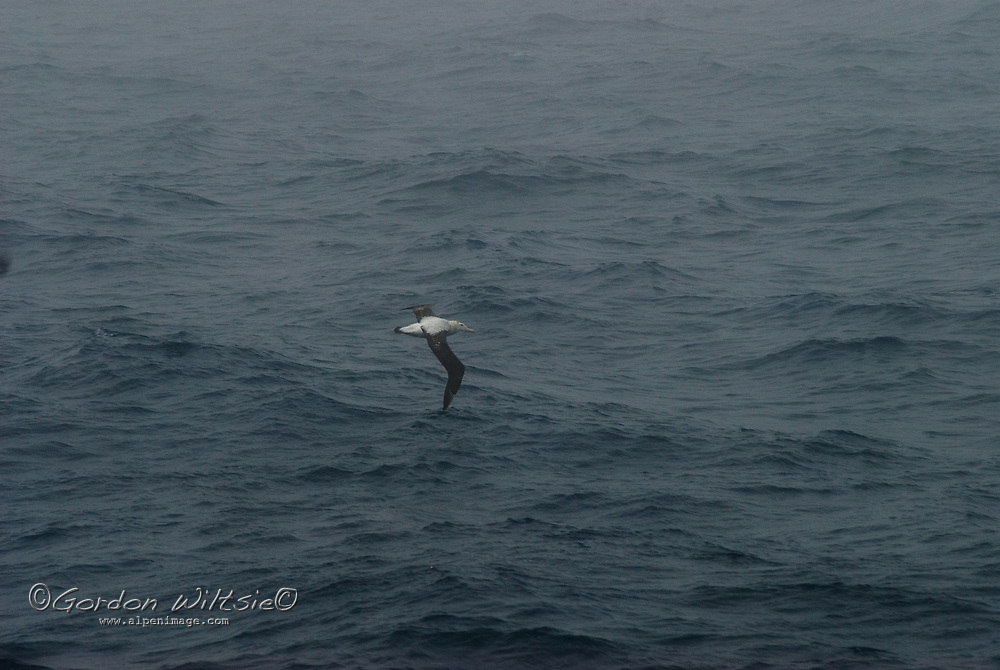 A Wandering Albatross soars over the South Atlantic Ocean near South Georgia.
