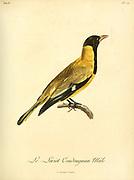 Loriot coudougnan, Male, from the Book Histoire naturelle des oiseaux d'Afrique [Natural History of birds of Africa] Volume 6, by Le Vaillant, Francois, 1753-1824; Publish in Paris by Chez J.J. Fuchs, libraire 1808