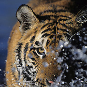 Bengal Tiger (Panthera tigris) inhabits India. Captive Animal