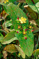TUTSAN Hypericum androsaemum (Clusiaceae) Height to 80cm. Upright, hairless and semi-evergreen shrub with 2-winged stems. Found in shady woods and hedgerows. FLOWERS are 2cm across with 5 yellow petals (Jun-Aug). FRUITS are berries that ripen from red to black. LEAVES are oval, up to 15cm long and borne in opposite pairs. STATUS-Locally common in S and W Britain and Ireland only.
