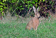 Brown hare, Lepus europaeus, in front of hedgerow, Lancashire, UK