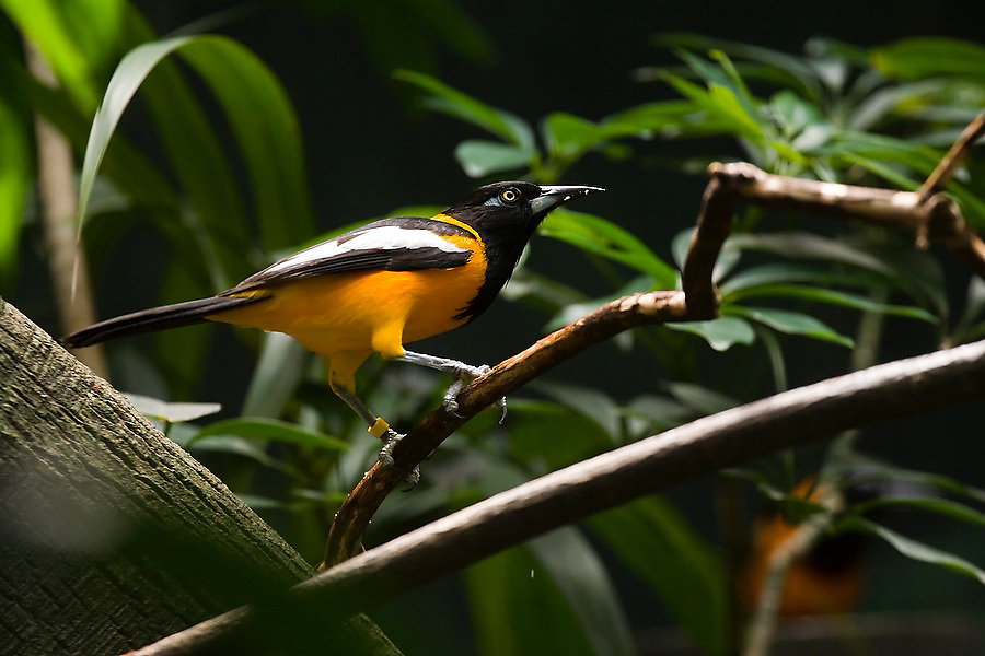A male Venezuelan Troupial (Icterus icterus) stands alert, perched on a brach in its enclosure at the Woodland Park Zoo in Seattle, Washington. The Troupial is the national bird of Venezuela.