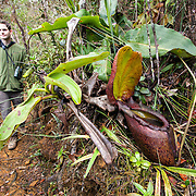 Man walks by pitcher plant, Nepenthes rajah, the largest pitcher plant in the world, endemic and Vulnerable