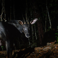 The mainland serow or Chinese serow (Capricornis milneedwardsii) is a species of goat antelope native to China and Southeast Asia.