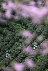 Female peasants pick up fresh tea leaves under peach blossom at Zhenzhulan Tea Base in Qianjiang District of Chongqing, southwest China, March 15, 2016. EXPA Pictures © 2016, PhotoCredit: EXPA/ Photoshot/ Yang Min<br /> <br /> *****ATTENTION - for AUT, SLO, CRO, SRB, BIH, MAZ, SUI only*****