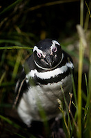 A Magellanic Penguin sits in the tall grass on the Isla Martillo near Estancia Harberton and Ushuaia, Argentina. The island is the home of one of the largest penguin rookery in Tierra del Fuego.