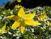 A yellow Glacier Lily blooms on Sauk Mountain in Mount Baker-Snoqualmie National Forest, Washington. The trailhead is on State Route 20, the North Cascades Highway, USA.