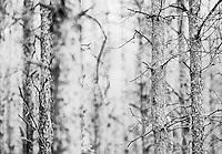 Zagan Pines 3