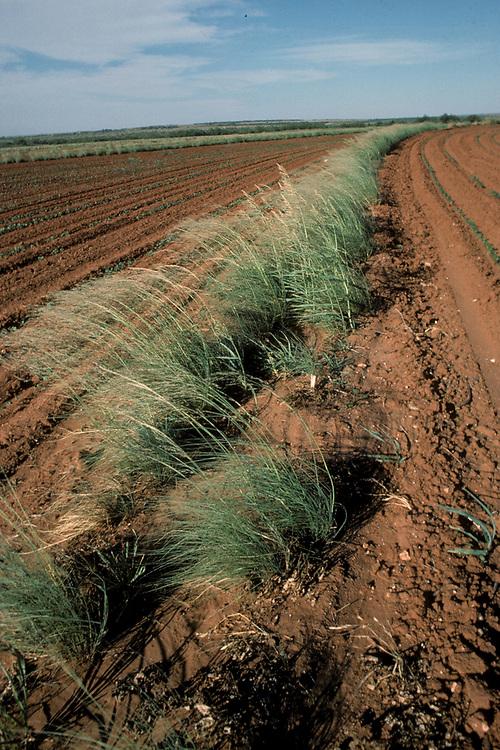 Pampas grass used as wind break to control soil erosion on south Texas farmland.<br /> ©Bob Daemmrich/