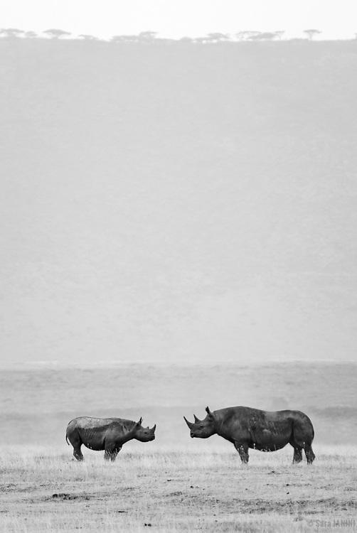 Black Rhinoceros (Diceros bicornis), Ngorongoro Crater, Ngorongoro Conservation Area, Tanzania, East Africa