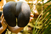 Coco de mer seed (Lodoicea maldivica). This is the largest and heaviest seed in the world. It can weigh up to 30 kilograms. Photographed in the Seychelles.