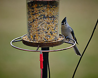 Tufted Titmouse at a bird feeder. Image taken with a Fuji X-T3 camera and 200 mm f/2 lens and 1.4x teleconverter (ISO 320, 280 mm, f/4, 1/500 sec).