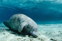 Florida manatee, Trichechus manatus latirostris, a subspecies of the West Indian manatee, endangered. An adult manatee rests on its side in the warm blue freshwater. Horizontal orientation with sun. Three Sisters Springs, Crystal River National Wildlife Refuge, Kings Bay, Crystal River, Citrus County, Florida USA.