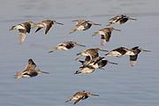 Flock of Short-billed Dowitchers in flight.(Limnodromus griseus).Back Bay Reserve, California