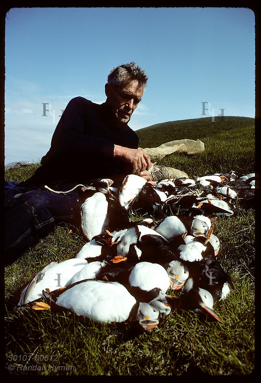 Hlodver Johnsen ties dead puffins by neck in fives for casting off cliffs to boat off Bjarnarey Iceland