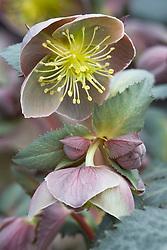 Helleborus × sternii Ashwood strain