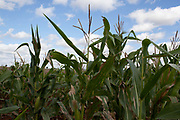 Maize corn plants. Brazil is the largest producer of Sugar and Beef, then second for Soya and third for Maize. Many of the farms are in the state of Mato Grosso and Mato Grosso do Sul, they are often enournmous, stretching for miles kilometres. A lot of the crops are processed on site and kept in large warehouses or silos.
