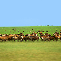 South America, Argentina, Patagonia, Passing cattle crossing Patagonia.