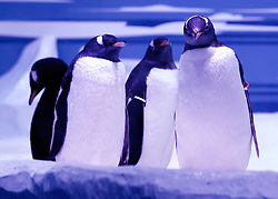 © under licence to London News Pictures. LONDON, 18/05/2011. Nine Gentoo Penguins (Pygoscelis papua) took up residence at the London Sea Life Aquarium today (Wed, 18th May), in a specially designed Antarctic themed Ice Adventure area. The penguins origninate from a breeding colony in Edinburgh. Photo credit should read BETTINA STRENSKE/LNP