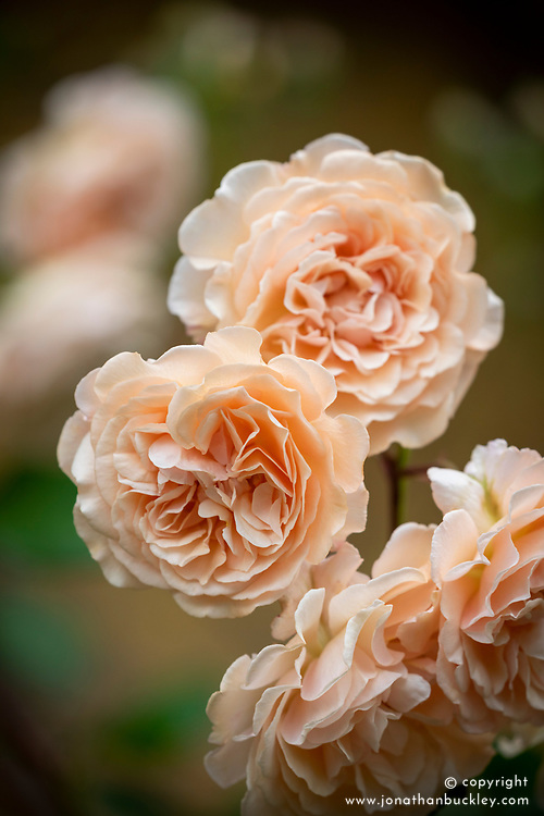 Rosa 'Buff Beauty' AGM