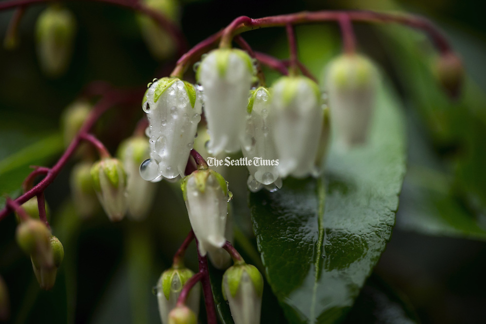 Dewdrops hang off of the flowers on a Japanese Andromeda plant at Kubota Garden in Seattle. (Bettina Hansen / The Seattle Times)