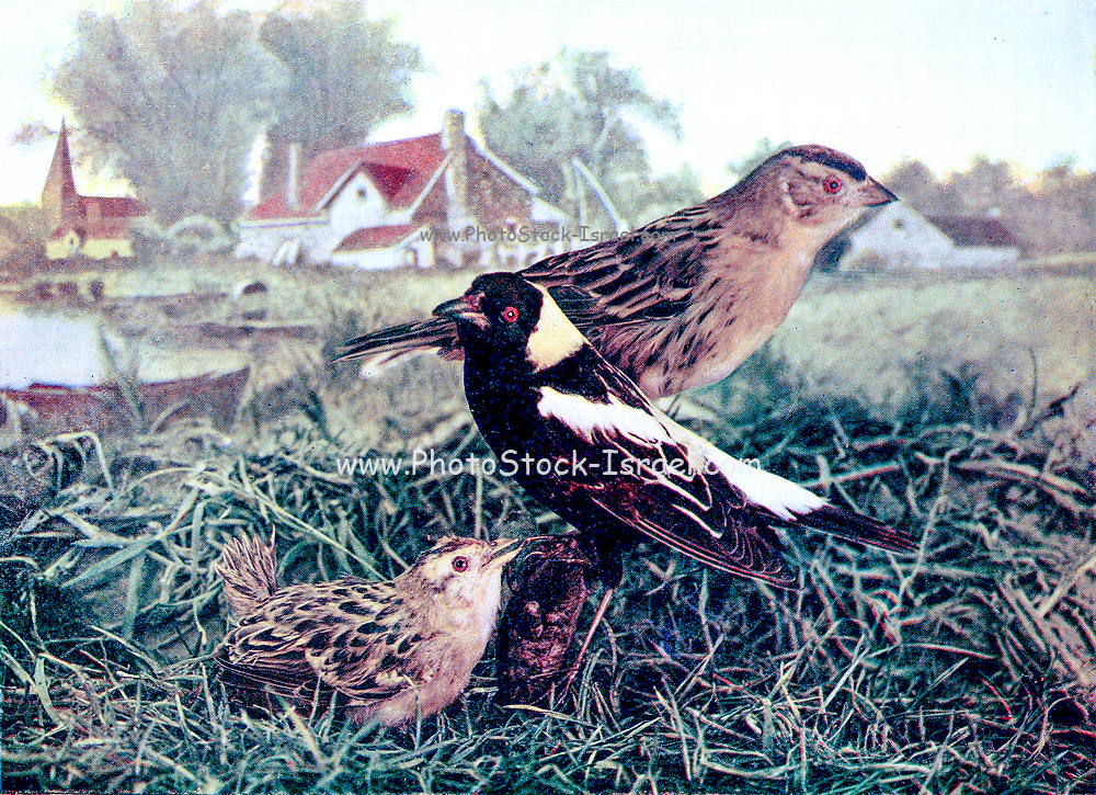 Male, Female and chick bobolinks (Dolichonyx oryzivorus) is a small New World blackbird and the only member of the genus Dolichonyx. From Birds : illustrated by color photography : a monthly serial. Knowledge of Bird-life Vol 1 No 3 March 1897