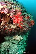green sea turtle, Chelonia mydas, rests on ledge on coral reef wall, Sipadan Island, off Borneo, Sabah, Malaysia ( Celebes Sea / Western Pacific Ocean )
