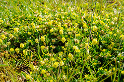 Liggende klaver, Trifolium campestre