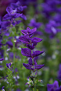 Salvia horminum in the double borders at Newby Hall, Ripon, North Yorkshire, UK