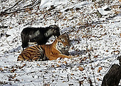 Tiger and Goat Are best friends in Primary Zoo