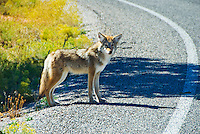 Coyote crosses the road and scavenges for road kill, Canyonlands National Park, Utah