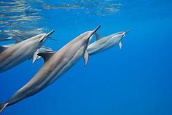 Hawaiian spinner dolphins, Gray's spinner dolphins or long-snouted spinner dolphins, Stenella longirostris longirostris, Hookena Beach Park, Kona Coast, Big Island, Hawaii, USA, Pacific Ocean
