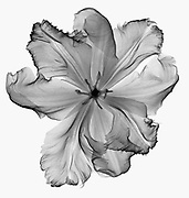 An X-Ray of a tulip flower.