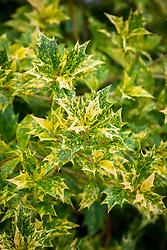 Osmanthus heterophyllus 'Goshiki' AGM - Holly olive, False holly.