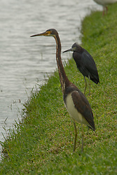 Tricolored Heron (Egretta tricolor) and Little Blue Heron (Egretta caerulea), Windsor, Vero Beach, Florida, US