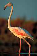 Flamingo, a large migratory bird that feeds and reproduces in wetlands and also on abandoned salt fields