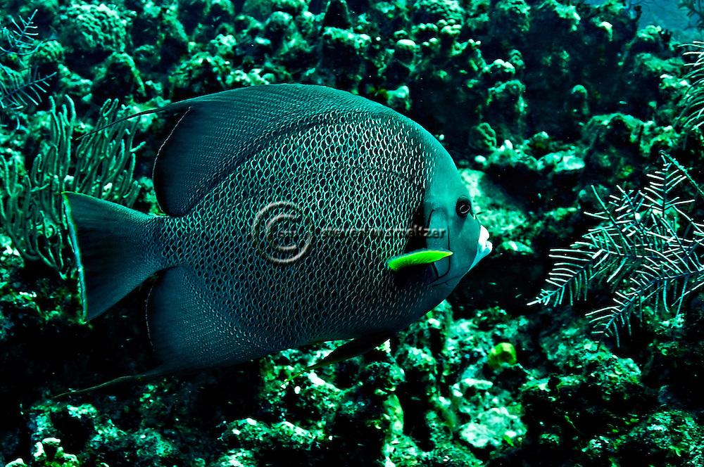 Gray Angelfish, Pomacanthus arcuatus, (Linnaeus, 1758), Grand Cayman