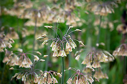 Nectaroscordum siculum subsp. bulgaricum. Bulgarian honey garlic