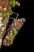 Fulgoroid plant-hopper (Flatidae)<br /> Yasuni National Park, Amazon Rainforest<br /> ECUADOR. South America